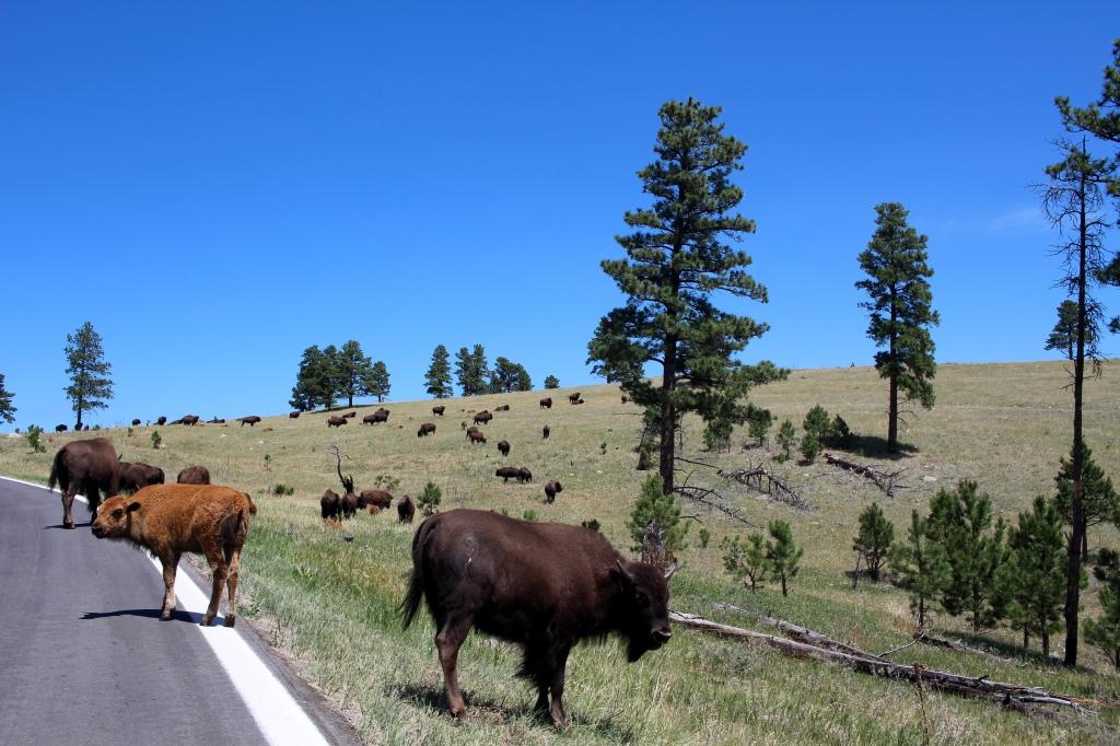 cramped up road trip south dakota custer state park buffalo